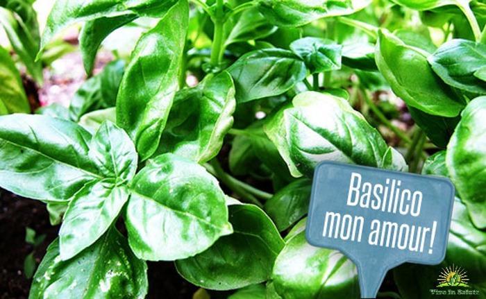 Basilico pianta divina