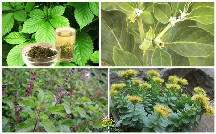 Le piante officinali adattogene