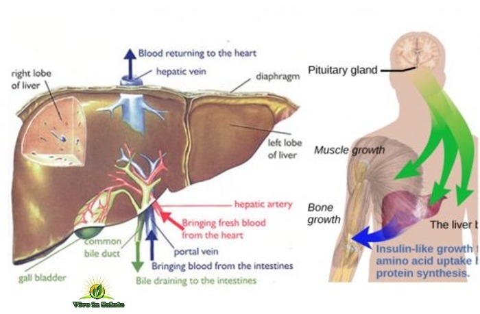 Fegato sovraccaricato con gli ormoni