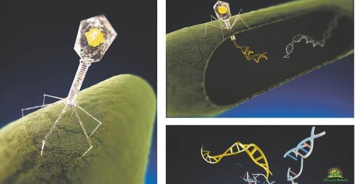 Resistenza agli antibiotici  riaccende interesse la terapia dei fagi