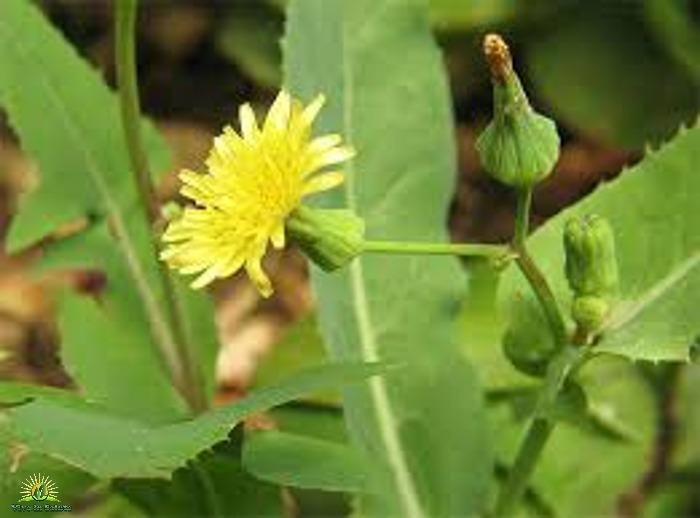 Antidolorifico naturale che cresce nel vostro giardino