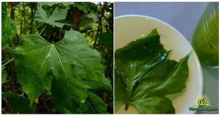 Chaya o albero spinaci chiamata il dono di Dio